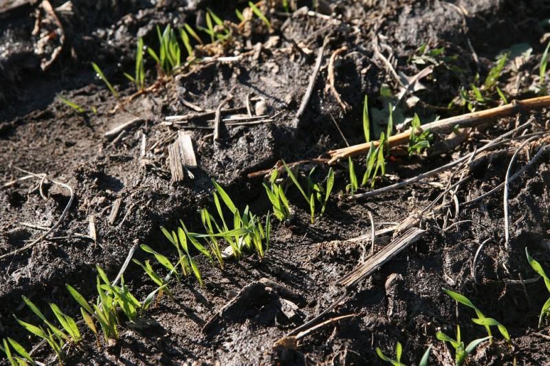 rye shoots on Breslin Farms
