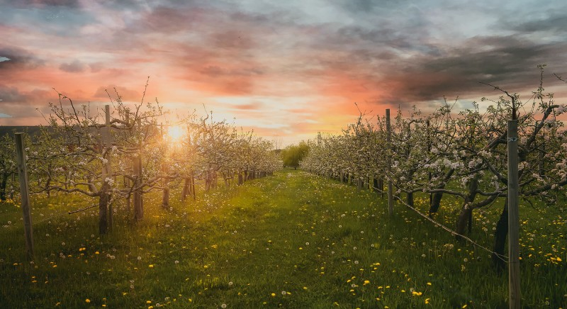 Plymouth Orchards sunset