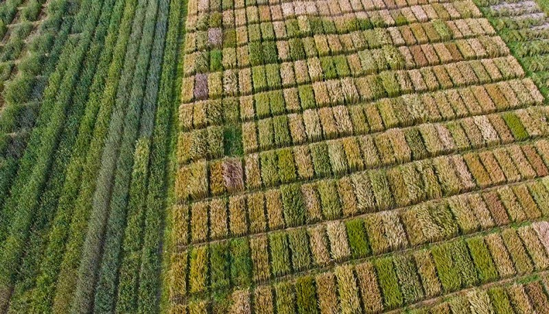 field of grain trials from above